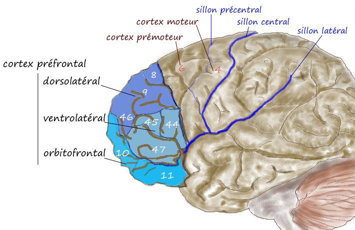 جایگاه حافظهی کوتاه مدت در لوب پیشانی