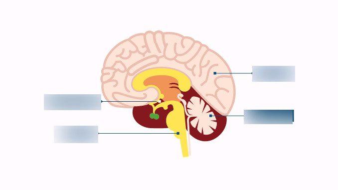 هومیواستیسیس و مغز